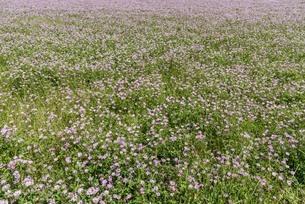 一面のレンゲの花畑の写真素材 [FYI03447108]