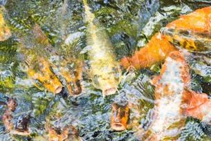 集まる池の錦鯉の写真素材 [FYI03447119]