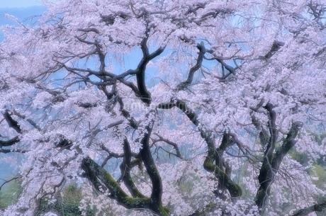 早朝の枝垂れ桜の写真素材 [FYI03447136]