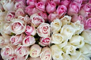 バラの花の写真素材 [FYI03447153]