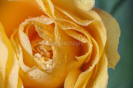 薔薇のクローズアップの写真素材 [FYI03447339]