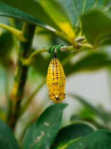 オオゴマダラの蛹の写真素材 [FYI03447372]