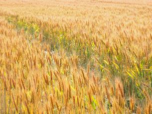 麦畑の写真素材 [FYI03447712]