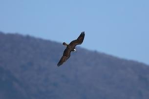 飛翔するミサゴの写真素材 [FYI03447830]