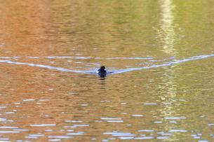 水面を進むキンクロハジロの写真素材 [FYI03447831]
