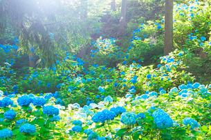 武石あじさい公園のアジサイと朝の光の写真素材 [FYI03447945]