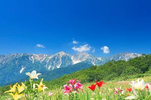 白馬岩岳ゆり園のユリと白馬連峰の写真素材 [FYI03447953]
