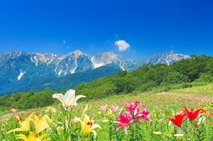 白馬岩岳ゆり園のユリと白馬連峰の写真素材 [FYI03447954]