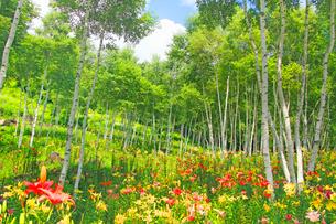 富士見高原ゆりの里の白樺ゆり園の写真素材 [FYI03447959]