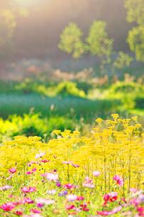 木曽馬の里のコスモスとオミナエシの花畑と夕方の光の写真素材 [FYI03447978]