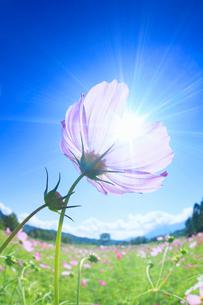 木曽馬の里のコスモスのアップと太陽の光芒の写真素材 [FYI03447986]