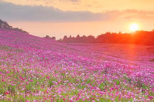 内山牧場大コスモス園のコスモス畑と夕日の写真素材 [FYI03448016]