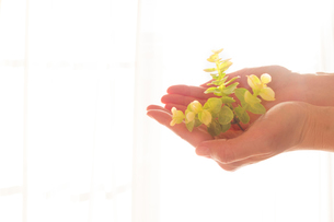 優しく緑を包む女性の手の写真素材 [FYI03448103]