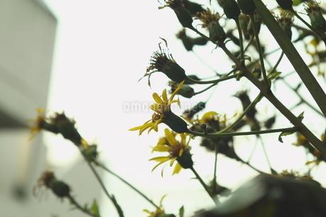 寂しげな花の写真素材 [FYI03449220]