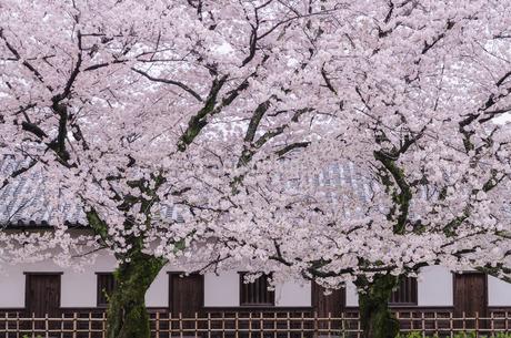 満開の桜の写真素材 [FYI03449325]