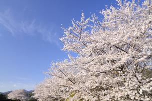 満開の桜の木の写真素材 [FYI03449333]