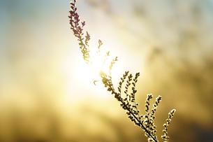 冬の枯れ草の写真素材 [FYI03449394]