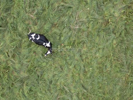 牛の空撮の写真素材 [FYI03449396]