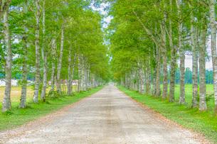 白樺の並木道の写真素材 [FYI03449589]