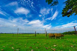 羊と青空の写真素材 [FYI03449600]