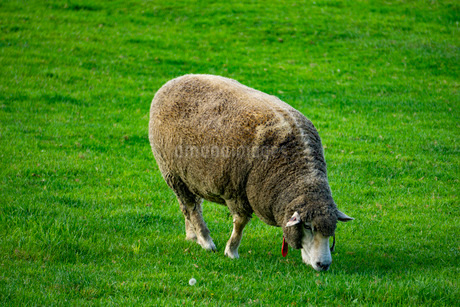 歩く羊とたんぽぽの写真素材 [FYI03449602]