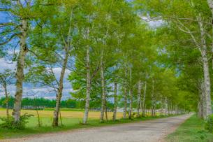 白樺の並木道の写真素材 [FYI03449605]