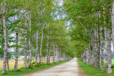 白樺の並木道の写真素材 [FYI03449607]