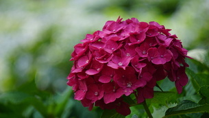 赤紫色の紫陽花の写真素材 [FYI03449609]