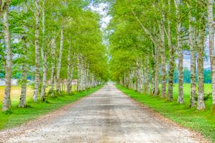 白樺の並木道の写真素材 [FYI03449610]