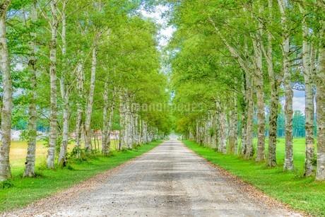 白樺の並木道の写真素材 [FYI03449612]