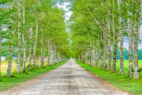 白樺の並木道の写真素材 [FYI03449613]