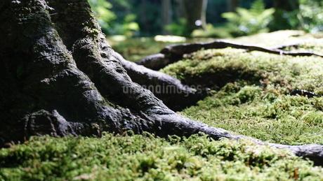 木の根と苔の写真素材 [FYI03449648]