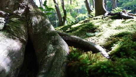 木の根と苔の写真素材 [FYI03449650]