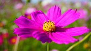ピンクのコスモスのアップの写真素材 [FYI03449654]