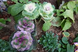 冬の紫と白の葉牡丹の写真素材 [FYI03449749]