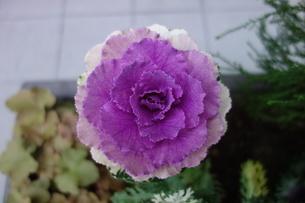 冬の紫の葉牡丹の写真素材 [FYI03449756]