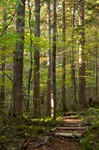 赤沢美林の檜の写真素材 [FYI03449786]