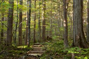 赤沢美林の檜の写真素材 [FYI03449787]