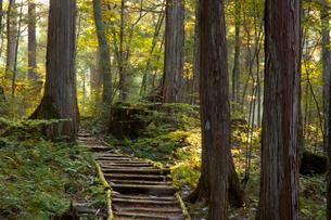 赤沢美林の檜の写真素材 [FYI03449788]