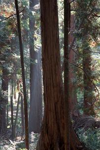 赤沢美林の檜の写真素材 [FYI03449792]