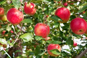 信州のりんごの写真素材 [FYI03449794]