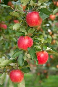 信州のりんごの写真素材 [FYI03449795]