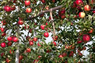 信州のりんごの写真素材 [FYI03449798]