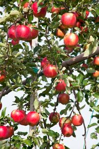 信州のりんごの写真素材 [FYI03449799]