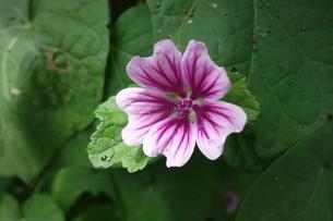夏に咲いた紫のマロウの花の写真素材 [FYI03449875]