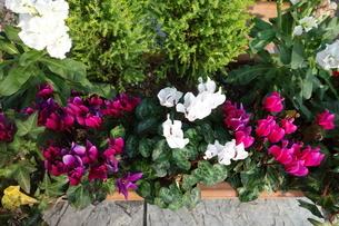 冬に咲いたカラフルなシクラメンの花の写真素材 [FYI03449881]