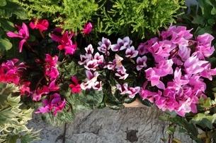 冬に咲いたカラフルなシクラメンの花の写真素材 [FYI03449882]