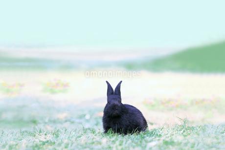 草地に座る黒い子供のウサギの写真素材 [FYI03450730]