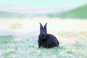 草地に座る黒い子供のウサギの写真素材 [FYI03450731]