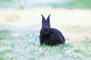 草地に座る黒い子供のウサギの写真素材 [FYI03450732]